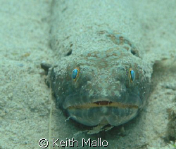 Sand Diver, taken in Bonaire at Bari Reef, by Keith Mallo